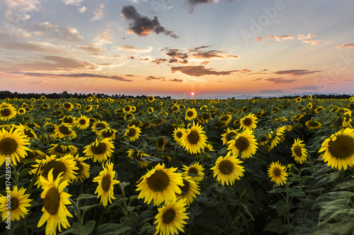 field of blooming sunflowers on a background sunset Poster