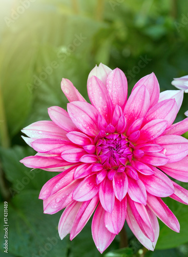 Macro shot of a pink dahlia. Poster