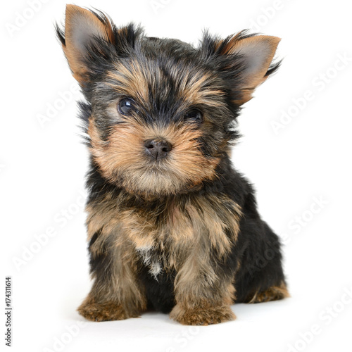 yorkshire terrier dog isolated on white Poster
