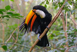 Colorful toucan in the aviary - 174315041