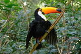 Colorful toucan in the aviary - 174315202