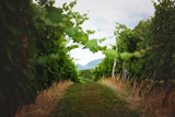 Narrow path through green vineyard - 174319205