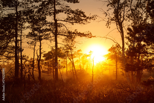 Mystical foggy sunrise in a pine forest