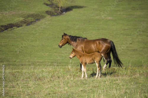 foal and a mare graze on a green meadow in the spring. the horse looks into the distance.