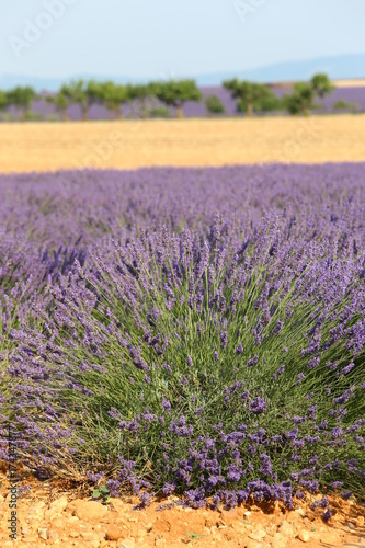Aluminium Lavendel Lavanda in Provenza