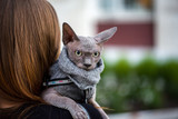 sphynx on the shoulder of the mistress