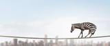 Zebra balancing on rope. Mixed media - 174367032