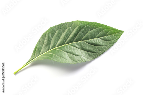 green leave on white background. isolated