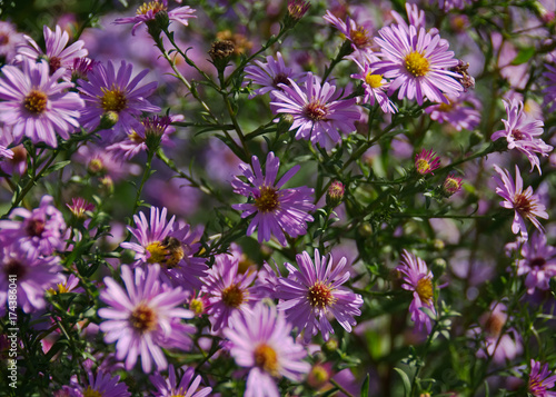 Pink fall flowers asters buy photos ap images detailview pink fall flowers asters mightylinksfo