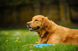 Golden Retriever dog outdoor portrait lying in grass with blue toy