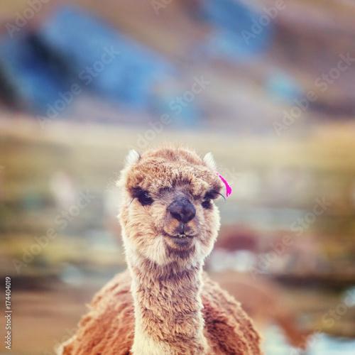 Fotobehang Galyna A. Alpaca
