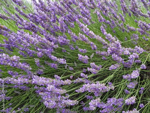 Lavendel Blüten Nahaufnahme