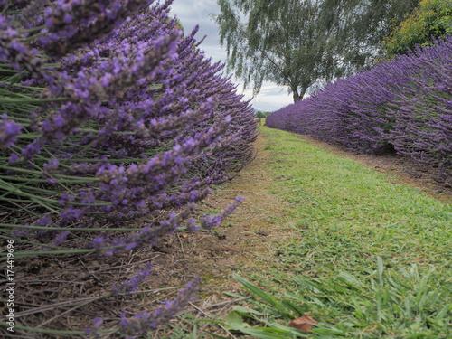 Fotobehang Lavendel Lavendelfeld mit grünem Rasen zwischen zwei Reihen