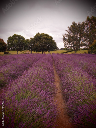 Fotobehang Diepbruine Lavendelfeld mit Bäumen im Hintergrund, Neuseeland