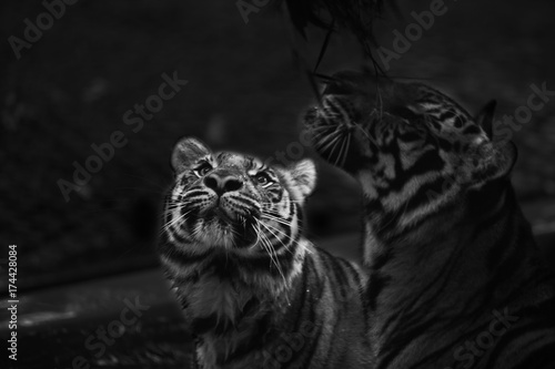 Poster double tiger