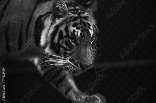 Poster tiger prowl stare