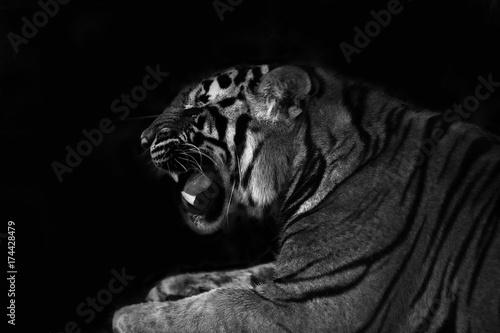 Poster tiger roar