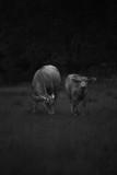 side by side buffalo - 174431688