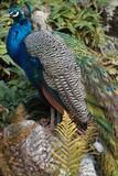 Paons mâles et femelles  - 174433016