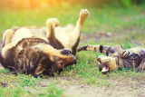 Dog and cat best friends playing together outdoor. Lying on the back on the grass. - 174435870