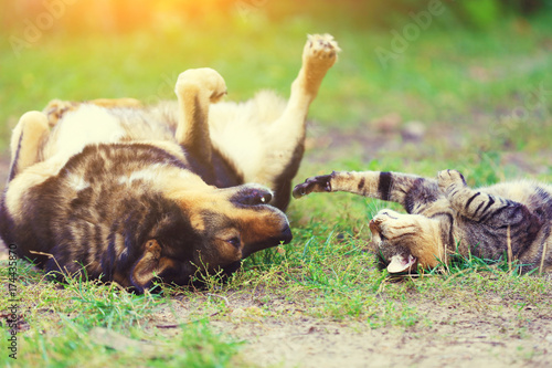 Fototapeta Dog and cat best friends playing together outdoor. Lying on the back on the grass.
