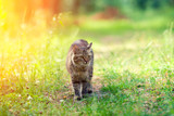 Siberian cat walks along the path in the forest