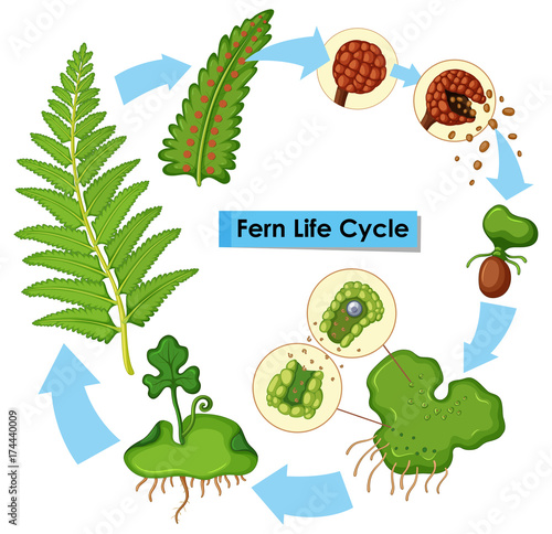 In de dag Kids Diagram showing fern life cycle