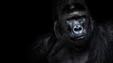 Male gorilla on black background, Beautiful Portrait of a Gorilla. severe silverback, anthropoid ape - 174449809