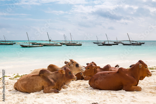 Poster Zanzibar African cows are resting on the beach