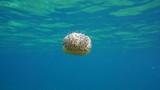 Underwater a fried egg jellyfish, Cotylorhiza tuberculata in the Mediterranean sea, Catalonia, Costa Brava, Cap de Creus, Spain, 60fps  - 174461654