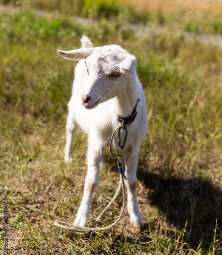 a portrait of a goat in the pasture