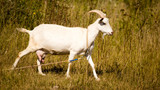 a portrait of a goat in the pasture - 174465429