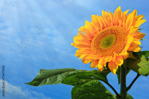 Fotobehang Natuur Sun flower against a blue sky.