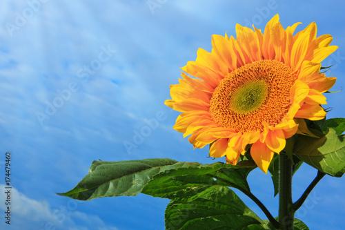 Sun flower against a blue sky.