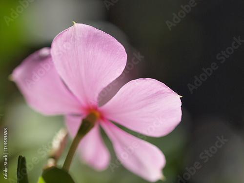 ピンクのニチニチソウの花