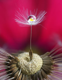 Fototapety Photo art macro. A dandelion seed with a drop of water and a flower reflection on a saturated bright crimson pink background. Abstract expressive artistic image of the beauty of nature.