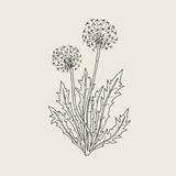 Beautiful drawing of dandelion plant with ripe seed heads or blowballs growing on stems and leaves. Meadow flower or wild flowering herb hand drawn in retro style. Natural vector illustration.