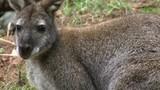 kangaroo in feild - 174502666