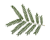Acacia leaves with branch  isolated on white background, top view - 174529812