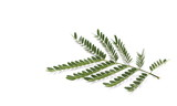 Acacia leaves with branch  isolated on white background, top view - 174529864