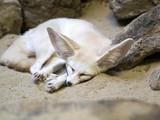 Fennec fox, Fennecus zerda, is a small desert fox - 174530439