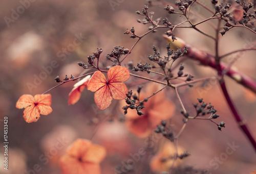Aluminium Hydrangea Verblühte Hortensien im Gegenlicht