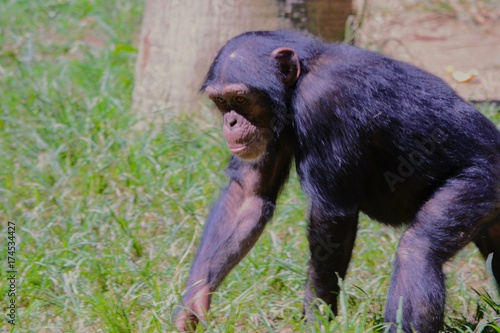 Chimp in Grass