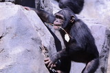Chimp Rock Climbing with Twig - 174538068