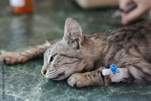 A sick cat to the Veterinary Clinic under anesthesia for surgery