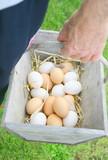 ramasser les œufs du poulailler dans un panier en bois - 174544234