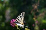 Farfalla bianca e nera sui fiori - 174549096