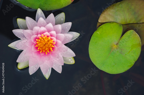 pink lotus in pond in top view. nature flower background. Poster