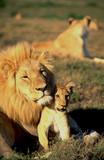 Südafrika: Löwe beschützt Junges - 174552661