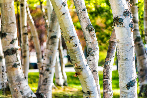 Plexiglas Berkenbos Closeup of many green birch trees grove with leaves in summer in park Quebec, Canada
